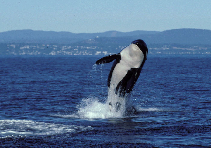 Granny, the world's oldest known killer whale, has been presumed dead