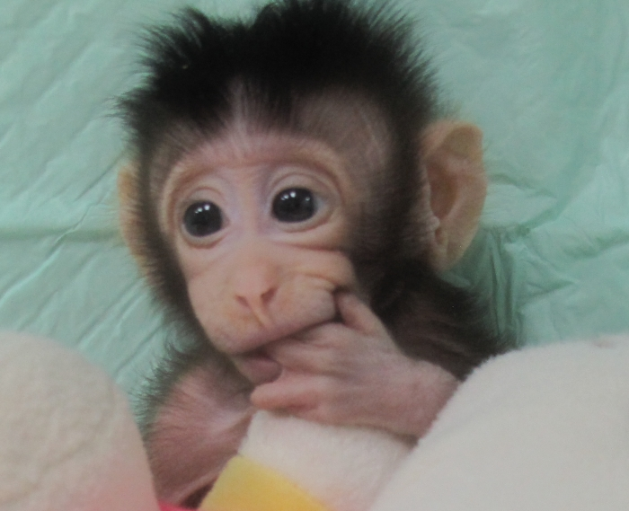 These are the first monkeys cloned using the