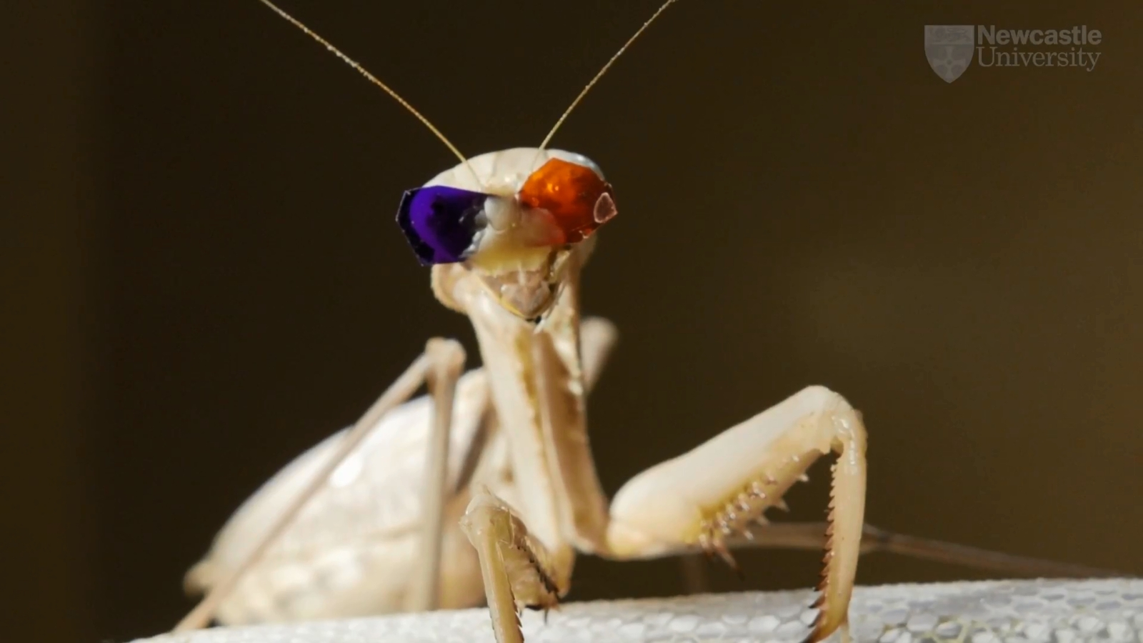 New Type Of 3D Vision In Praying Mantis Discovered