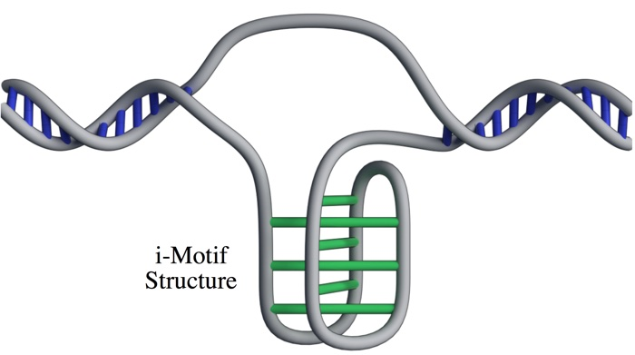 Knotty new DNA structure found in living cells for the first time