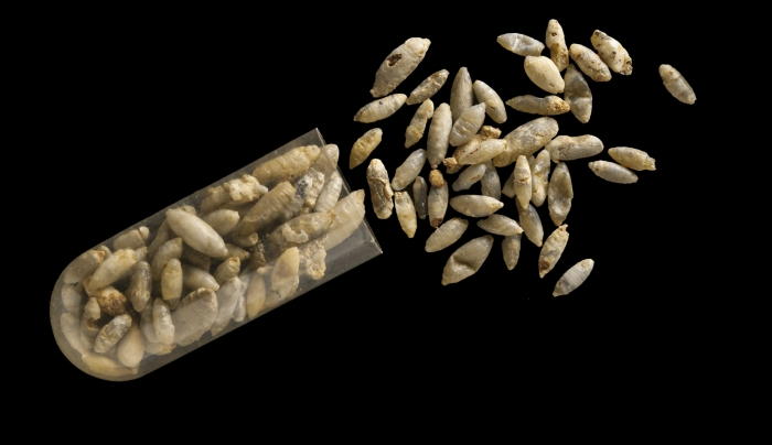 Yikes! Ancient Parasitic Wasps Found In Fossil Fly Pupae