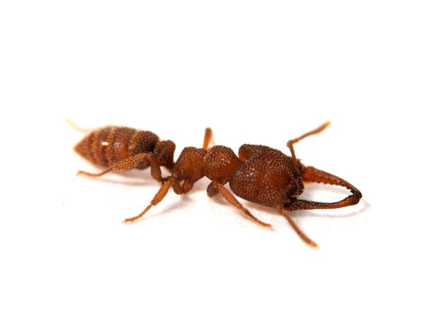 Dracula ants have the fastest body parts known to man: their jaws