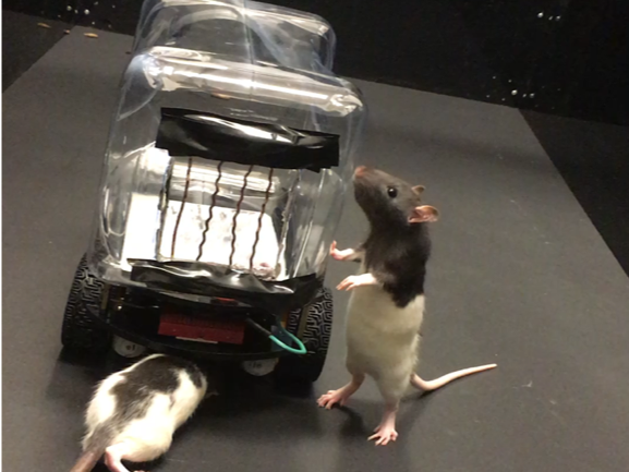 Scientists train rats to drive tiny cars to collect Froot Loops