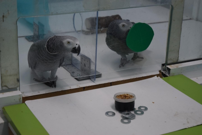 African grey parrots will help their peers without expecting anything in return